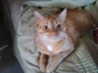 Adopt Oscar Philip a Orange or Red American Shorthair / Mixed (short coat) cat