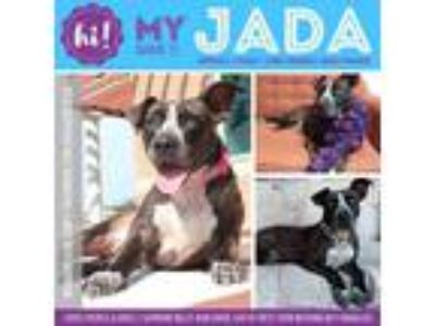Adopt Jada a Brown/Chocolate American Pit Bull Terrier / Mixed dog in New Port