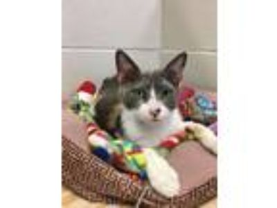 Adopt Dayla a Dilute Calico