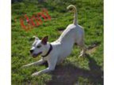 Adopt Clara a Pit Bull Terrier
