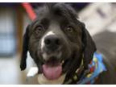 Adopt Chase a Clumber Spaniel