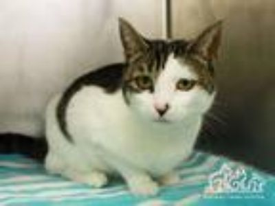 Adopt PIPER a Domestic Short Hair