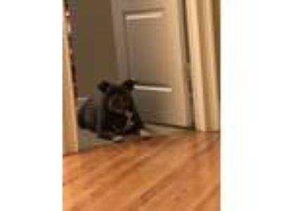 Adopt Diamond Evans a Gray/Blue/Silver/Salt & Pepper American Pit Bull Terrier /