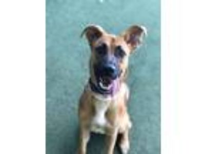 Adopt Lizzy a German Shepherd Dog, Mixed Breed