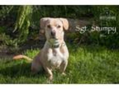 Adopt Sgt. Stumpy a Tan/Yellow/Fawn Basset Hound / Labrador Retriever / Mixed