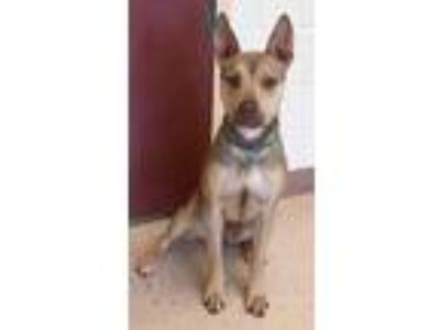 Adopt FANTA a Tan/Yellow/Fawn Pharaoh Hound / German Shepherd Dog / Mixed dog in