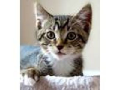 Adopt Roy Rogers a All Black Domestic Shorthair / Domestic Shorthair / Mixed cat