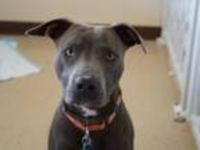 Adopt Mercury a Pit Bull Terrier