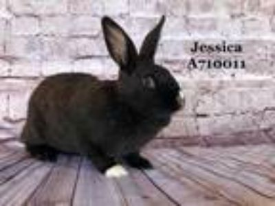 Adopt *JESSICA a Fawn Other/Unknown / Mixed rabbit in Camarillo, CA (25598588)