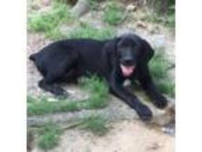 Adopt Drake - gorgeous, happy puppy a Labrador Retriever