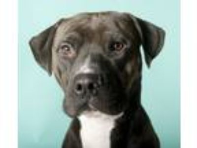 Adopt T-Rex a Brown/Chocolate - with White American Pit Bull Terrier / Labrador
