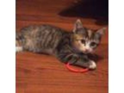 Adopt Esther a Domestic Short Hair