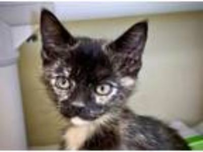 Adopt Buttercup a Domestic Short Hair
