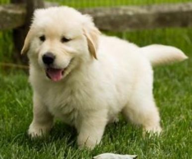 Male and Female Golden Retriever Puppies Available