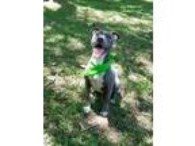 Adopt Mia - Courtesy Post a Pit Bull Terrier
