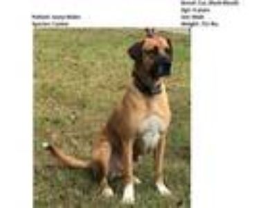 Adopt Josey a Tan/Yellow/Fawn - with White Black Mouth Cur / Mixed dog in