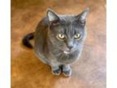 Adopt Kate a Russian Blue