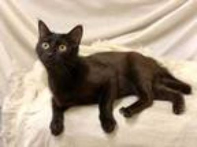 Adopt Midland a All Black Domestic Shorthair / Domestic Shorthair / Mixed cat in