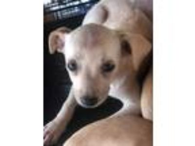 Adopt Angelonia a Tan/Yellow/Fawn Terrier (Unknown Type, Small) / Mixed dog in