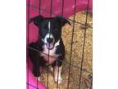 Adopt Mini Pup black and white a Black - with White Australian Cattle Dog /