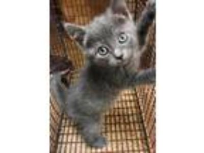 Adopt Kit(Avail 6-16) a Gray or Blue Siamese / Domestic Shorthair / Mixed cat in