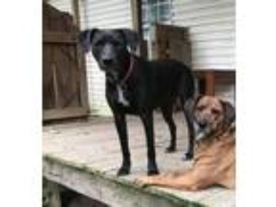 Adopt Minnie NEW VIDEO a Retriever, Weimaraner