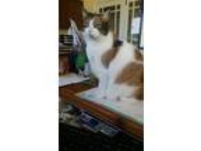 Adopt Sadie a Calico or Dilute Calico Domestic Shorthair (short coat) cat in
