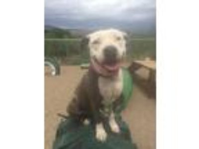 Adopt Spice a American Staffordshire Terrier / Mixed dog in Cottonwood