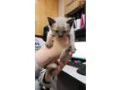 Adopt Lorelei a Cream or Ivory Siamese / Domestic Shorthair / Mixed cat in