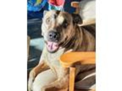 Adopt Buddy a Brindle Manchester Terrier dog in Boonville, MO (24174938)