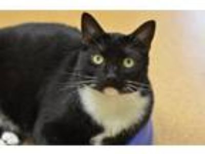 Adopt Finnegan 170800 a Domestic Short Hair