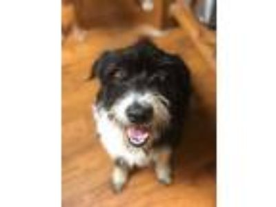Adopt Nancy Drew a Bearded Collie, Poodle