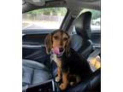 Adopt Macy - Doxie Beagle mix a Brown/Chocolate - with Black Dachshund / Beagle