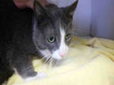 Adopt MUFFIN a Gray or Blue (Mostly) Domestic Shorthair / Mixed (short coat) cat