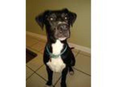 Adopt Delaney a Black - with White Great Dane / Labrador Retriever / Mixed dog