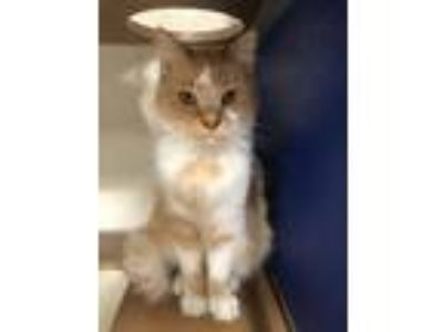 Adopt Carlton a Domestic Long Hair, Domestic Short Hair
