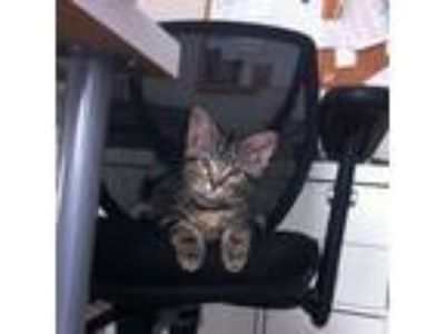 Adopt Abel a Brown Tabby Domestic Shorthair (short coat) cat in Covington