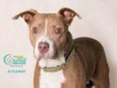 Adopt DRACO a Pit Bull Terrier