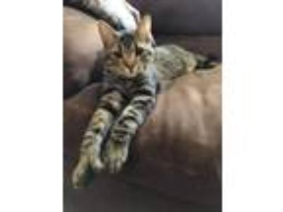 Adopt Dusty Wilkins a Extra-Toes Cat / Hemingway Polydactyl, Tabby