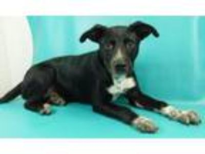Adopt Bert a German Shorthaired Pointer