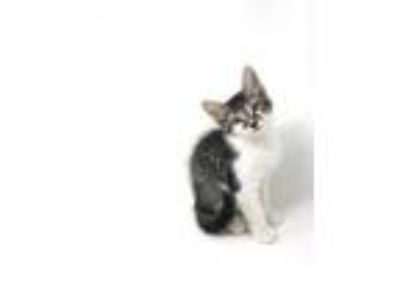 Adopt Kizzy a Brown Tabby Domestic Mediumhair / Mixed cat in Abbeville