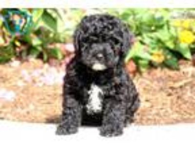 Bear - Shihpoo Male