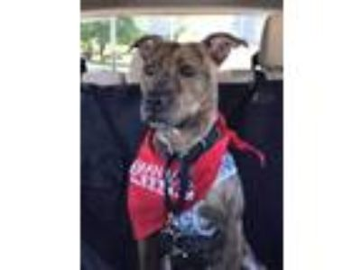 Adopt Princess a Brindle Boxer / Plott Hound / Mixed dog in Thomasville