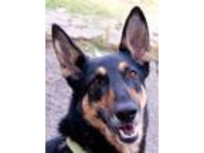 Adopt Laila a Doberman Pinscher, German Shepherd Dog