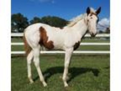 APHA Filly for Sale or Trade