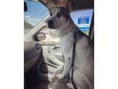 Adopt Lobster a Black - with White Husky / Great Dane dog in Pleasant Grove