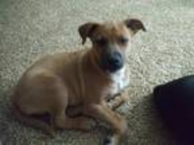 Adopt Sammie a Tan/Yellow/Fawn - with Black Rottweiler dog in Grove City