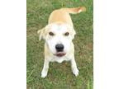 Adopt Hulk a Red/Golden/Orange/Chestnut Labrador Retriever / Mixed dog in