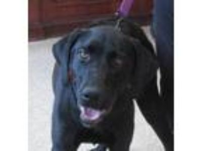Adopt Scooby a Black Labrador Retriever / Mixed dog in Glenwood, MN (25314393)