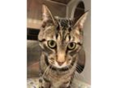 Adopt Remus a Brown Tabby Domestic Shorthair / Mixed (short coat) cat in Hilton